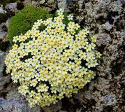 Close up of Dionysia Marika flower. Close up of yellow Dionysia Marika flower Stock Photo