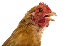 Close up of a dirty Crossbreed rooster, Pekin Stock Photos