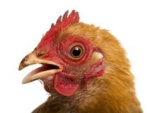 Close up of a dirty Crossbreed rooster, Pekin Stock Photo