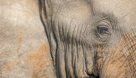 Close-up of a dirty elephant ear, eye and nose Stock Images