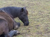 Close up dirty ginger brown horse lying on mug green grass meadow, sad or ill look, selective focus on head royalty free stock images