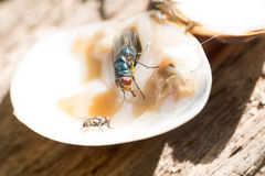 Close up  of a Dirty House Fly on a Fork covered in Yellow food. Carriers of easily communicable diseases Royalty Free Stock Images