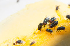 Close up  of a Dirty House Fly on a Fork covered in Yellow food Royalty Free Stock Photography