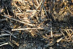 Dirty lemongrass leaves after burning on the ground Stock Photography