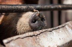 Close up dirty nose of a pig Royalty Free Stock Photos