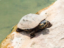 Close up dirty turtle on stone in pond location Royalty Free Stock Photos