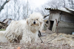 Close-up of a dirty white dog Royalty Free Stock Photos