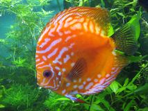 Close up of a discus fish in an aquarium. Flat round orange fish with white spots on the background of seaweeds stock photo