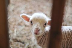 Close up disparado da cabra recém-nascida do bebê que olha a câmera imagens de stock