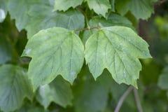 Close-up disparado da folha do acerifolium do Viburnum fotografia de stock royalty free