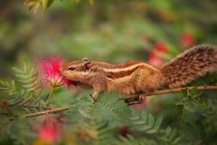 Close up disparado de um esquilo da palma na Índia Imagem de Stock