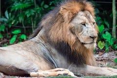 Close up disparado de um leão masculino muscular, profundo-chested ao descansar fotografia de stock