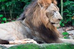 Close up disparado de um leão masculino muscular, profundo-chested ao descansar imagens de stock