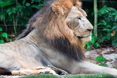 Close up disparado de um leão masculino muscular, profundo-chested ao descansar fotos de stock royalty free
