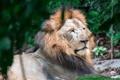 Close up disparado de um leão masculino muscular, profundo-chested ao descansar imagens de stock royalty free
