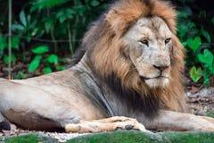 Close up disparado de um leão masculino muscular, profundo-chested ao descansar foto de stock royalty free