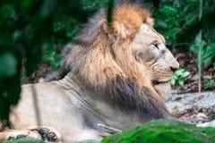 Close up disparado de um leão masculino muscular, profundo-chested ao descansar imagem de stock royalty free