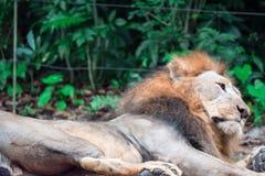 Close up disparado de um leão masculino muscular, profundo-chested ao descansar fotografia de stock royalty free