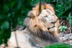 Close up disparado de um leão masculino muscular, profundo-chested ao descansar foto de stock
