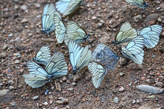 Close-up disparado de um rebanho da borboleta foto de stock royalty free