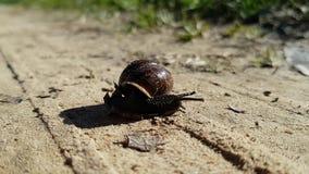 Close-up disparado do caracol de jardim marrom Lentamente move e toca em suas antenas ao espaço ao redor filme