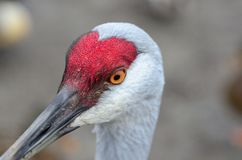 Close up shot of a Sandhill Crane Stock Images