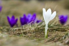 Close-up do açafrão branco brilhante belamente de florescência que está o PR Imagens de Stock