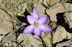 Close-up do açafrão lilás da flor selvagem nas pedras Imagem de Stock