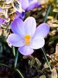 Close up do açafrão roxo Imagem de Stock