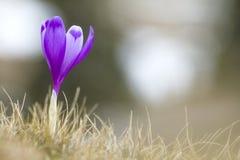 Close-up do açafrão violeta brilhante belamente de florescência que está p Imagens de Stock