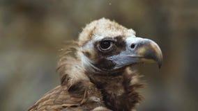Close up do abutre no parque do jardim zoológico vídeos de arquivo