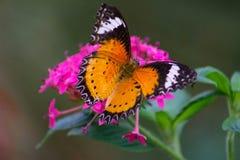 Close-up do almirante vermelho Butterfly Imagem de Stock