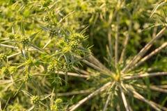 Close-up do amaranto Fotografia de Stock