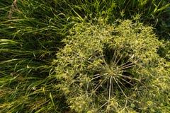 Close-up do amaranto Foto de Stock