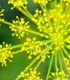 Close up do aneto & do x28; Fennel& x29; flor imagem de stock royalty free