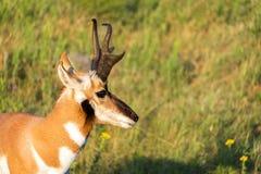 Close up do antílope de Pronghorn imagens de stock royalty free