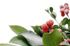 Close-up do azevinho Foto de Stock
