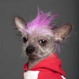 Close-up do cão com crista chinês Imagem de Stock Royalty Free