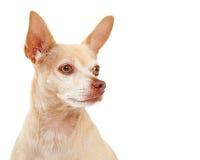 Close up do cão da chihuahua Foto de Stock Royalty Free