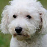 Close up do cão de Bichon Frise imagem de stock