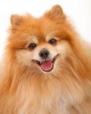 Close up do cão de Pomeranian Foto de Stock Royalty Free