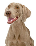 Close up do cão de Weimaraner Imagens de Stock Royalty Free