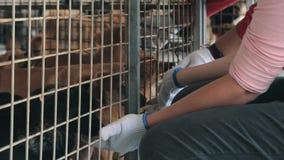Close-up do cão disperso prendido trocas de carícias das mulheres no abrigo do animal de estimação Conceito dos povos, dos animai filme