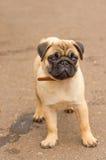 Close-up do cão do Pug Fotos de Stock Royalty Free