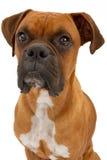 Close up do cão do pugilista Imagem de Stock Royalty Free