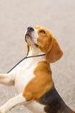 Close-up do cão do lebreiro Imagem de Stock Royalty Free