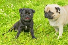 Close-up do cão do Pug Fotos de Stock