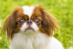 Close-up do cão do Pug Fotografia de Stock Royalty Free