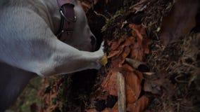 Close up do cão que escava a sujeira e as folhas de outono nas madeiras vídeos de arquivo