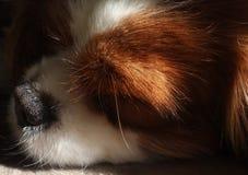 Close up do cão do sono com nariz preto fotografia de stock royalty free